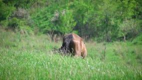 Cavallo che cammina sul pascolo verde video d archivio