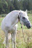 Cavallo che cammina in un prato Fotografia Stock Libera da Diritti