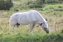 Cavallo che cammina in un prato Fotografie Stock Libere da Diritti