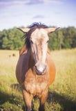 Cavallo che fissa alla macchina fotografica Fotografia Stock Libera da Diritti