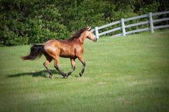 Cavallo che funziona sulla collina Immagine Stock