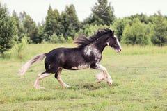 Cavallo che galoppa nel campo Immagine Stock