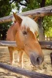 Cavallo che guarda alla macchina fotografica sopra il recinto Fotografia Stock