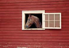 Cavallo che guarda dalla finestra della stalla del granaio rosso fotografia stock