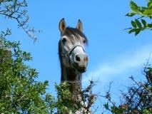 Cavallo che lo esamina Immagine Stock Libera da Diritti
