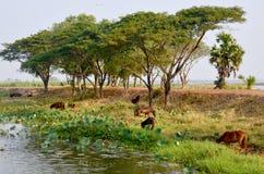 Cavallo che mangia alla riva del fiume del lago Nong Han Immagini Stock Libere da Diritti