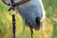 Cavallo che mangia erba Fotografia Stock