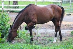 Cavallo che mangia erba Fotografie Stock