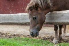 Cavallo che mangia erba Immagine Stock Libera da Diritti