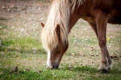 Cavallo che mangia erba in Islanda Fotografia Stock Libera da Diritti