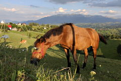 Cavallo che mangia erba su un pascolo della montagna Fotografia Stock