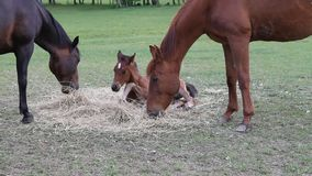 Cavallo che mangia fieno stock footage