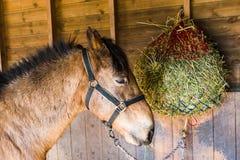 Cavallo che mangia fieno Fotografie Stock Libere da Diritti
