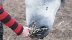 Cavallo che mangia fieno da una mano del ` s della donna video d archivio