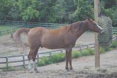 Cavallo che mangia fieno dalla borsa del fieno immagine stock libera da diritti