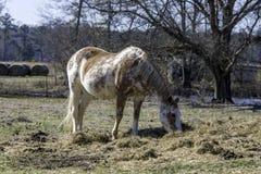 Cavallo che mangia fieno fuori della terra immagine stock libera da diritti