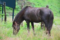 Cavallo che mangia a Pang Ung in Mae Hong Son Fotografia Stock Libera da Diritti