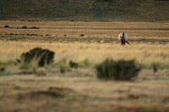 Cavallo che mangia parte anteriore fotografia stock libera da diritti