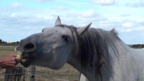 Cavallo che mangia una spiga del granoturco stock footage