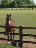 Cavallo che osserva sopra una rete fissa Fotografie Stock