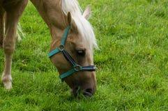 Cavallo che pasce Immagine Stock Libera da Diritti