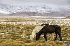 Cavallo che pasce durante la neve - Ladakh India Fotografie Stock Libere da Diritti