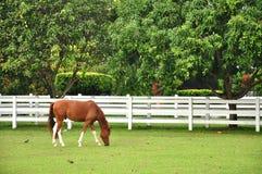 Cavallo che pasce l'erba nella stalla Fotografie Stock Libere da Diritti