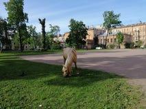 cavallo che pasce nel parco a Pietroburgo immagine stock
