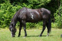 Cavallo che pasce nel pascolo Fotografie Stock Libere da Diritti