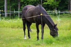 Cavallo che pasce nel pascolo Fotografia Stock Libera da Diritti