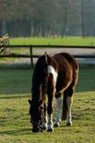 Cavallo che pasce nel prato Fotografia Stock Libera da Diritti