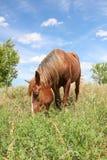 Cavallo che pasce nel prato Fotografie Stock