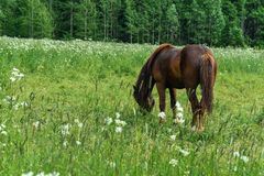Cavallo che pasce nella giornata campale Immagine Stock