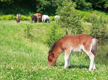 Cavallo che pasce su un prato verde, f selettiva del puledro di Falabella mini Fotografia Stock