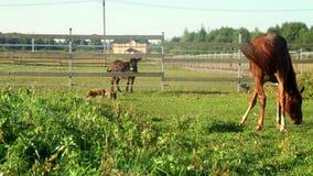 Cavallo che pasce sul campo verde all'allevamento Pascolo dell'asino e del cavallo stock footage