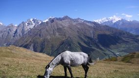 Cavallo che pasce sul prato alpino video d archivio