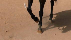 Cavallo che pawing la terra video d archivio