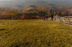 Cavallo che si alimenta con l'erba nella contea Romania di Brasov Immagini Stock Libere da Diritti