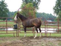 Cavallo che si alimenta nel piccolo recinto per bestiame dell'azienda agricola Fotografia Stock