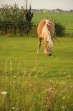 Cavallo che si alimenta sull'erba Immagine Stock Libera da Diritti
