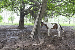 Cavallo che sta all'aperto Fotografie Stock Libere da Diritti