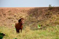 Cavallo che sta alla riva del fiume del lago Nong Han Immagini Stock Libere da Diritti