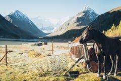 Cavallo che sta in Altay Mountains Fotografia Stock