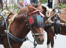 Cavallo che tunning Fotografie Stock Libere da Diritti
