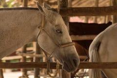 Cavallo cieco in stalla Ciò ha usato per essere un cavallo di polo ma non ha fotografie stock libere da diritti