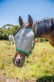 Cavallo con Flynet sopra il fronte Fotografie Stock