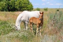 Cavallo con il puledro nel campo Fotografia Stock
