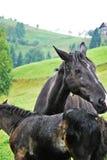 Cavallo con il puledro sul campo Fotografia Stock Libera da Diritti