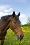 Cavallo con l'espressione divertente Immagini Stock
