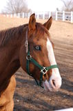 Cavallo con l'occhio di vetro Fotografie Stock Libere da Diritti